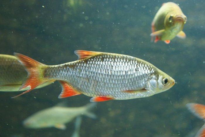 Bild 4 fische in der schweiz die nicht bedrohte rotfeder for Was fressen fische im teich