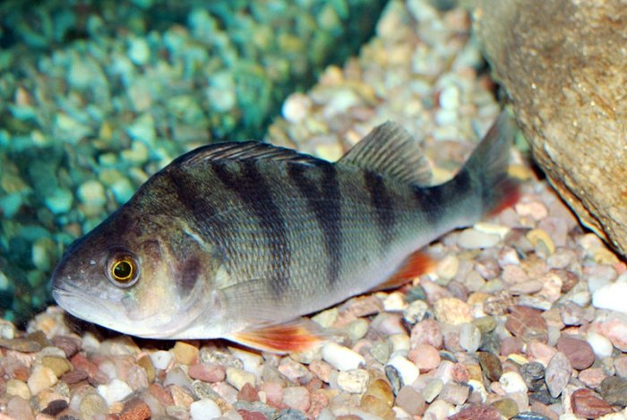 Fische in der schweiz der egli ist nicht bedroht for Gartenteichfische arten
