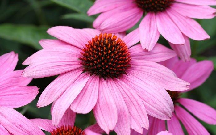 bild 9 echinacea ist balkonblume und heilpflanze zugleich. Black Bedroom Furniture Sets. Home Design Ideas