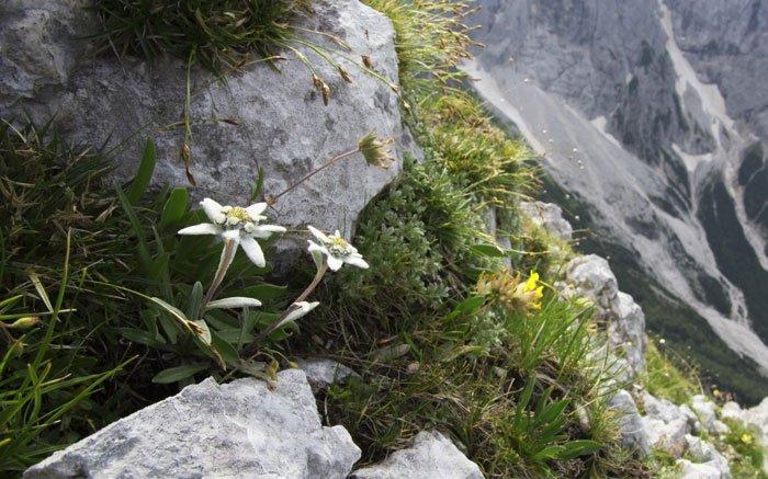 bild 3 alpenblumen der schweiz edelweiss bekannteste. Black Bedroom Furniture Sets. Home Design Ideas