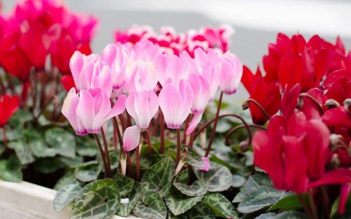 bild 6 herbstblumen sind auch sehr k lteresistent wie das alpenveilchen. Black Bedroom Furniture Sets. Home Design Ideas