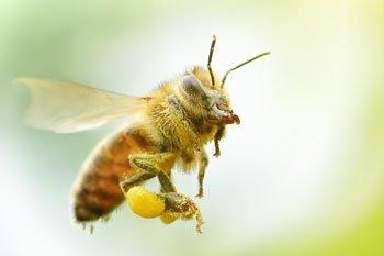 Bienenarten in der Schweiz: Die wilden Verwandten der Honigbiene