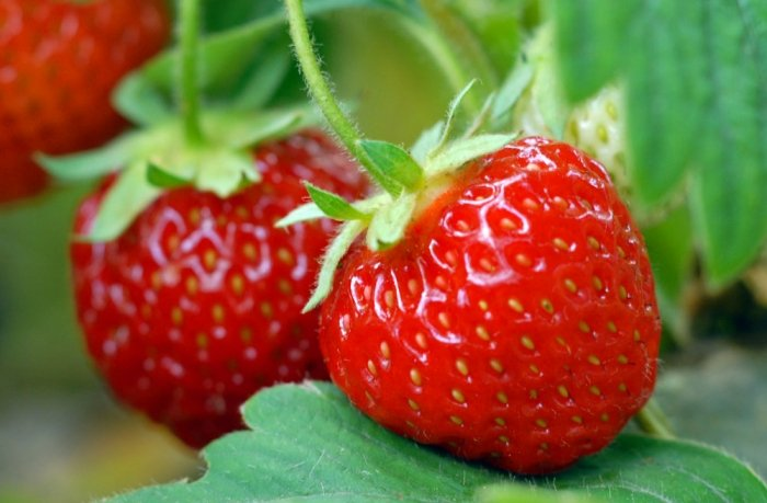 erdbeeren pflanzen der verlauf vom setzling zur frucht. Black Bedroom Furniture Sets. Home Design Ideas