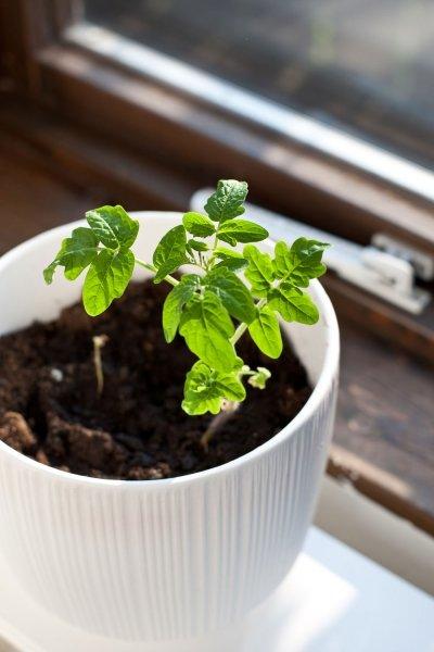 bild 4 tomaten selbst anbauen das wachstum. Black Bedroom Furniture Sets. Home Design Ideas