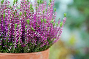 Es wird noch mal bunt! Herbst-Blumen für Balkon und Garten