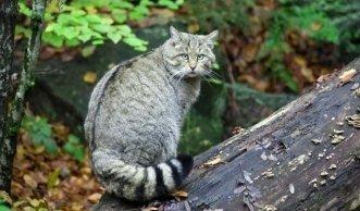 Born to be wild: Kommt die fast ausgerottete Wildkatze wieder zurück?