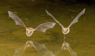 Endlich gibt es wieder mehr Fledermäuse in Europa!
