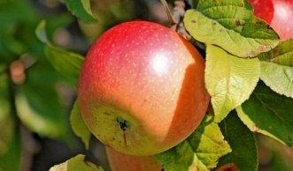 Beim Apfelschnitt im Winter unbedingt Fruchtmumien entfernen!