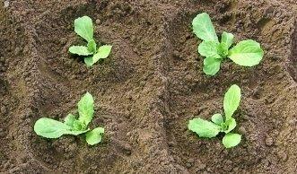 Im Juni und Juli Endivien säen bringt frischen Salat bis zum Spätherbst