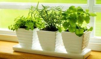 kr uter auf der fensterbank pflanzen setzlinge oder saatgut. Black Bedroom Furniture Sets. Home Design Ideas