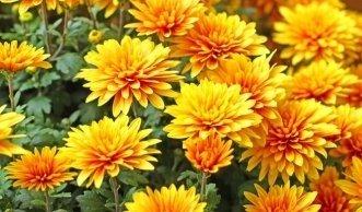 Frostschutz im Garten: Wie Sie Chrysanthemen richtig überwintern