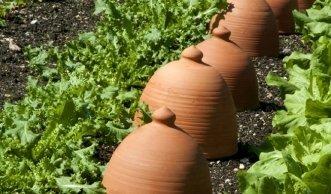 Dank Treibglocke und Mini-Gewächshaus im Garten früher Gemüse ernten
