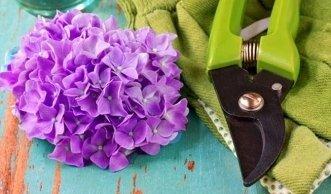 Zwei Arten von Schnitten: Hortensien Schneiden leicht gemacht