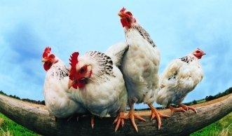 Hühner-Haltung in der Schweiz: Ein Blick hinter die Kulissen