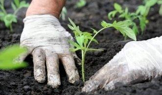 Pflanzzeit im Biogarten: Wann Sie am besten Tomaten pflanzen