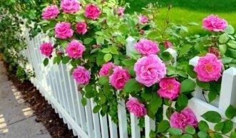Die beste Pflanzzeit für Rosen ist im Herbst vor dem Frost