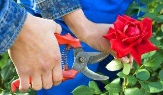 Rosen im Garten am Anfang des Frühjahrs richtig pflegen