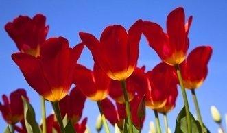 tulpen pflege wie und wann man die blumen zur ck schneiden sollte. Black Bedroom Furniture Sets. Home Design Ideas