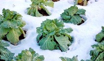 Winterfestes Gemüse: Auch bei Frost frisch aus dem eigenen Garten