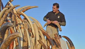 USA setzen Zeichen gegen Wilderei und zerstören sechs Tonnen Elfenbein
