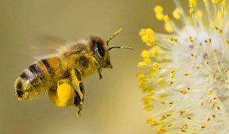Bienensterben: Chemiekonzern will Verbot eines Pestizids verhindern