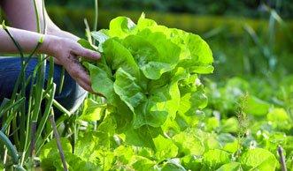 Gift im Garten: Eigenes Gemüse teils alles andere als gesund
