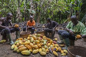 Kakao: Wie entsteht echte Fairtrade-Schoggi, die auch schmeckt?