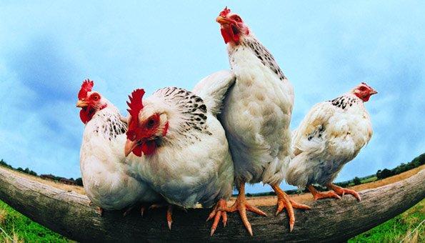 h hner haltung ist bio poulet die bessere wahl. Black Bedroom Furniture Sets. Home Design Ideas