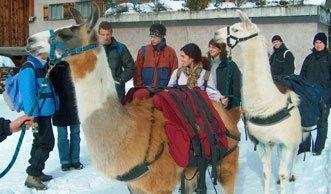 Winterwandern mal anders: Beim Lamatrekking die Natur entdecken