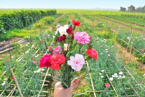 Zum Muttertag Blumen selber pflücken: Die schönsten Feldern