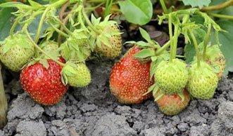 Mehr Erdbeeren ernten durch das richtige Düngen