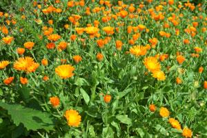 So verbessern Sie mit der Gründüngung den Gartenboden