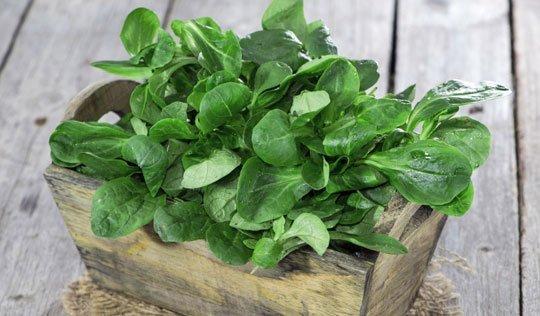 Durch richtiges Pflanzen Nüsslisalat aus eigenem Garten geniessen