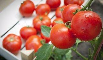 Steigern Sie den Ertrag von Tomaten-Pflanzen durch richtige Pflege
