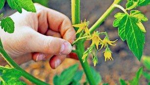 Mehr Tomaten ernten durch regelmässiges Ausgeizen von Trieben