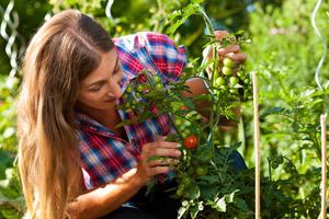 tomaten pflanzen im naturgarten. Black Bedroom Furniture Sets. Home Design Ideas
