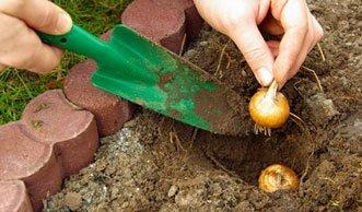 Rechtzeitig Tulpenzwiebeln setzen für bunte Frühlingsbeete
