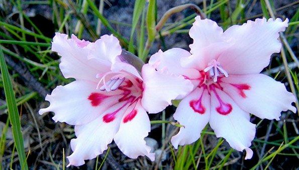 Tipps und tricks für das richtige pflanzen von prachtvollen gladiolen