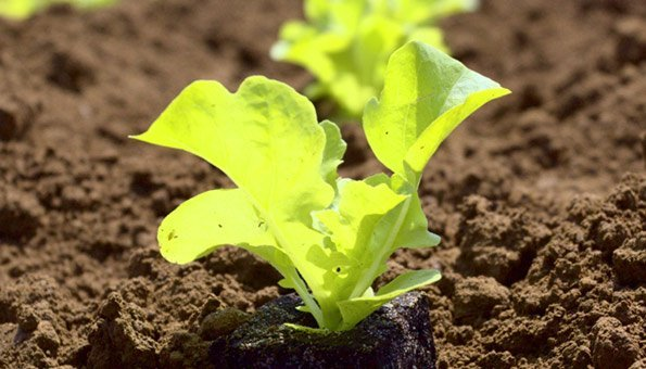kopfsalat pflanzen frischer salat aus dem eigenen garten. Black Bedroom Furniture Sets. Home Design Ideas