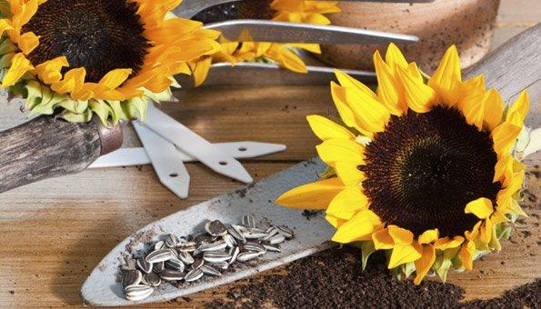 sonnenblumen pflanzen eignet sich f r garten und balkon. Black Bedroom Furniture Sets. Home Design Ideas