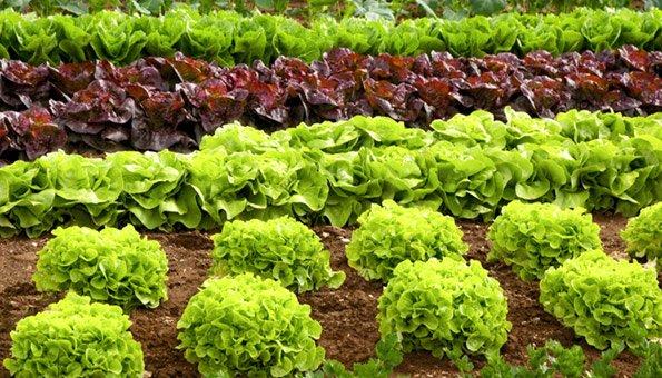 Gemüse Im Garten ? Tipps Für Das Pflanzen Von Kohlblättern - 2015 ... Gemuse Im Garten Kohlblatter Tipps