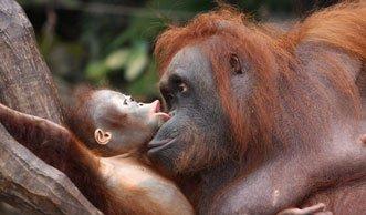 Verdrängt von Palmöl: Orang-Utans und Borneos Zwerg-Elefanten