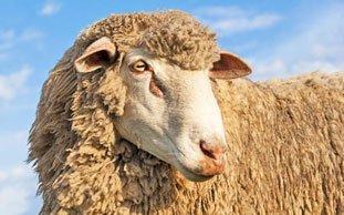 Mulesing: Millionenfache Tierqual für billige Wollpullis