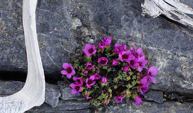 Farbtupfer zwischen Felsen: Die schönsten Alpenblumen