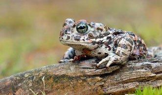 Gut getarnt und trotzdem gefährdet: Amphibien in der Schweiz