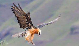 Imposanter Bartgeier: Grösster Greifvogel ist zurück in der Schweiz