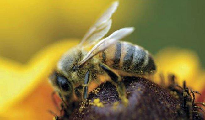 Das grosse Summen: Welche Bienenarten in der Schweiz leben