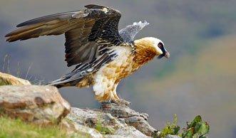 Lautlose Jäger: Welche Greifvögel heute in der Schweiz leben