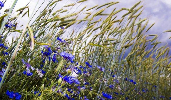 Gegen Schädlinge: Blumenstreifen können Pestizide unnötig machen