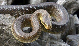 Welche Schlangen sind in der Schweiz einheimisch?
